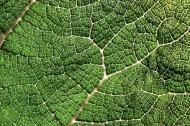 Gunnera leaf