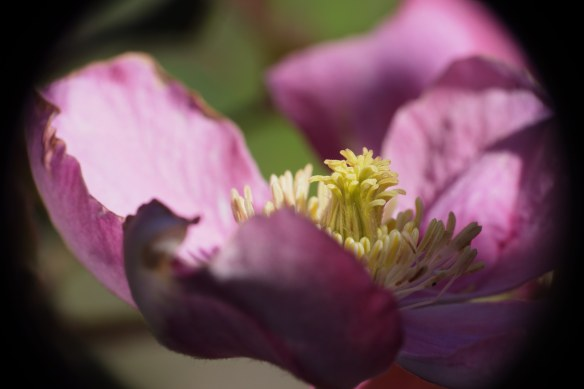 inside the clematis